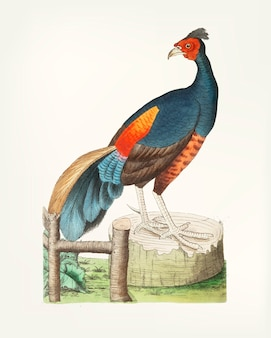 Hand drawn of  black pheasant
