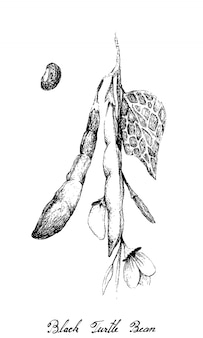 Hand drawn of black turtle bean