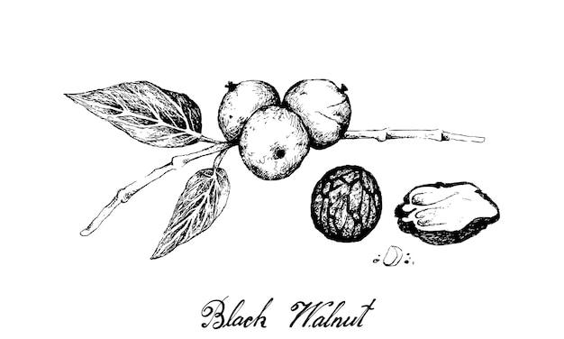 Hand drawn of black walnuts on a branch