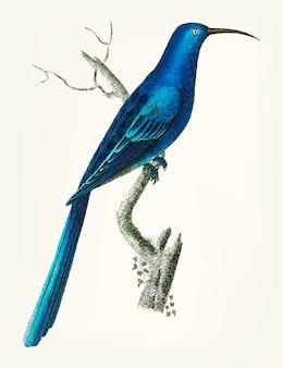 Hand drawn of blue promerops
