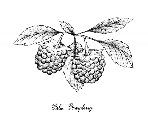 Hand drawn of blue raspberries on white background