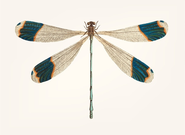 Hand drawn of blue-tipped dragonfly