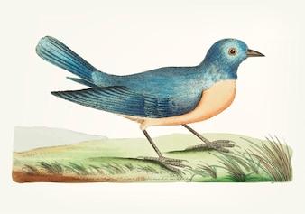 Hand drawn blue warbler