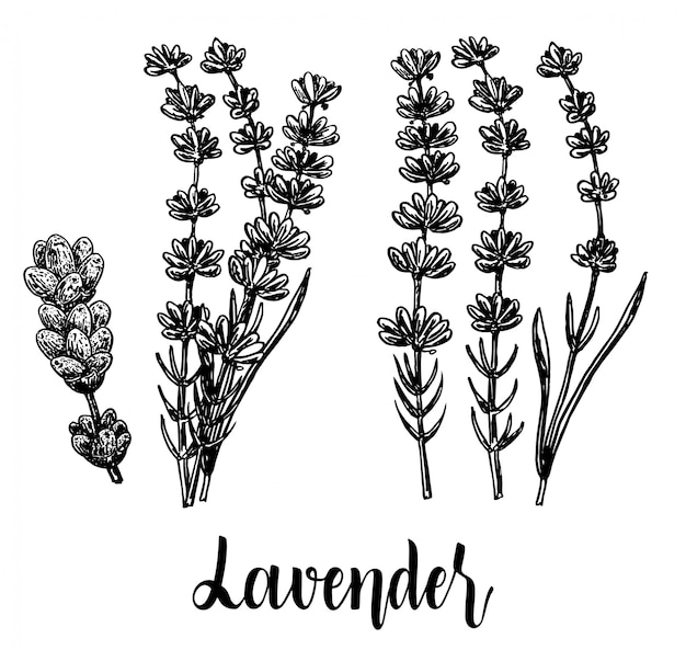 Hand drawn botanical illustration of lavender