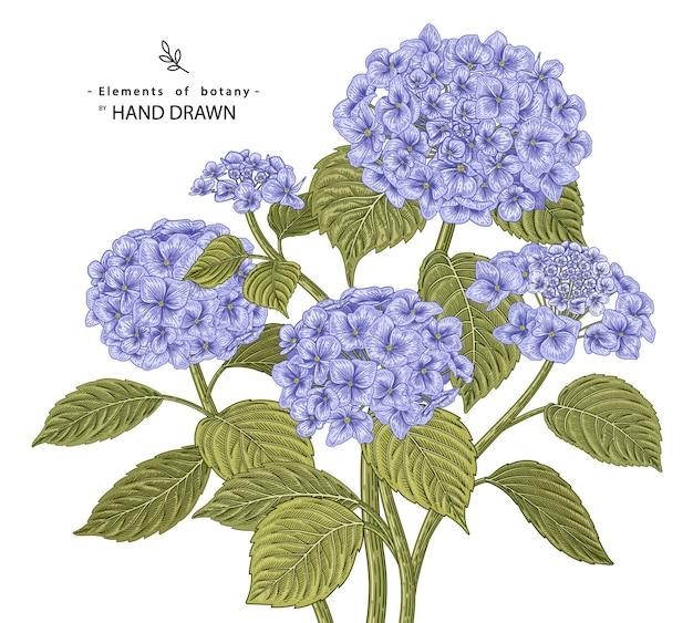 手描きの植物イラストアジサイの花のラインアートは、白い背景で隔離。