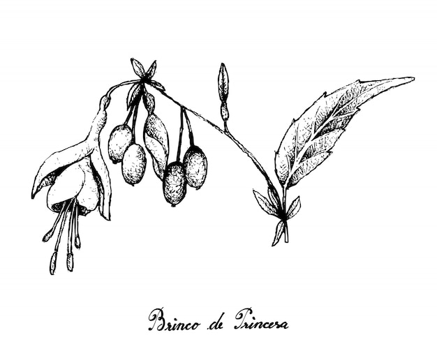 Hand drawn of brinco de princesa frutis on white background