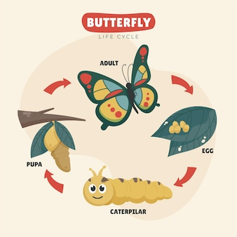 Hand drawn butterfly life cycle