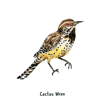 Hand drawn cactus wren bird