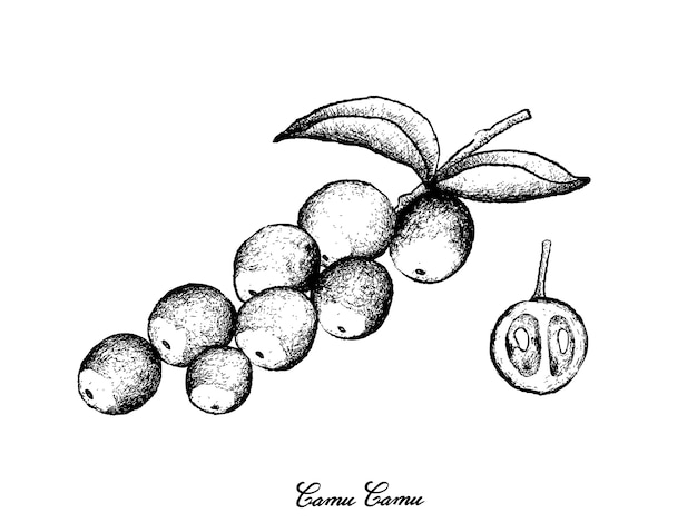 Hand drawn of camu camu fruits