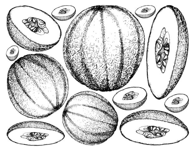 Hand drawn of cantaloupe fruit llustration