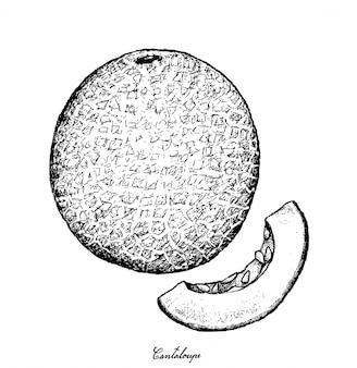 Hand drawn of cantaloupe fruit