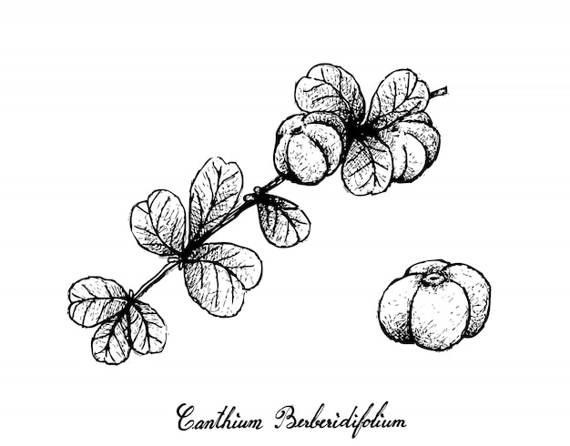 Hand drawn of canthium berberidifolium frutis on white background
