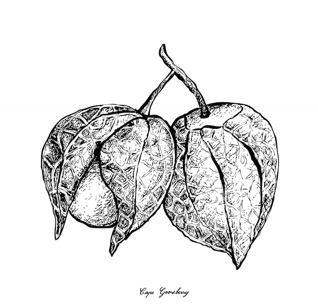 Hand drawn of cape gooseberry