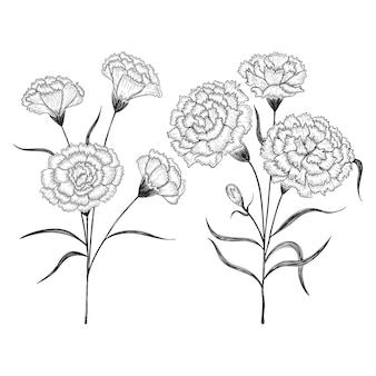 Hand drawn carnation flowers and leaves drawing illustration.
