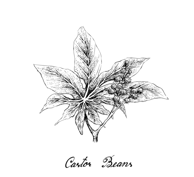 Hand drawn of castor beans on white background