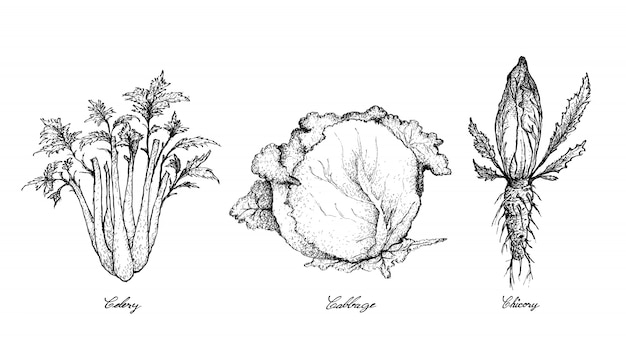 Hand drawn of celery, cabbage and chicory