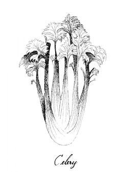 Hand drawn of celery on white