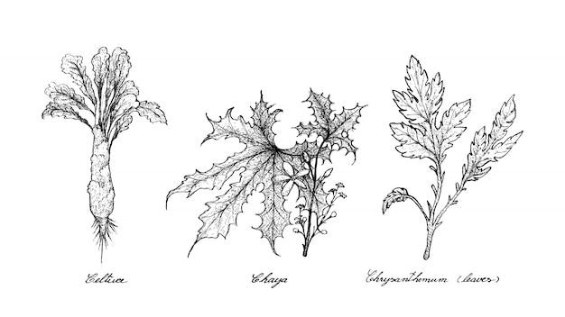 Hand drawn of celtuce, chaya and chrysanthemum