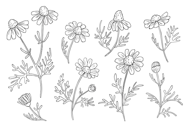 손으로 그린 카모마일 지점. 식물 스케치.