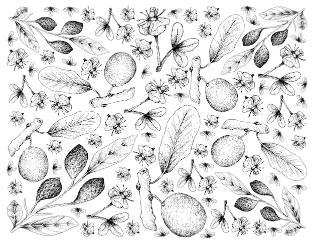 Hand drawn chebulic myrobalans and african mangosteen
