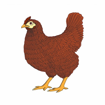 Hand drawn chicken, hen. poultry, broiler. vintage colorful bird sketch