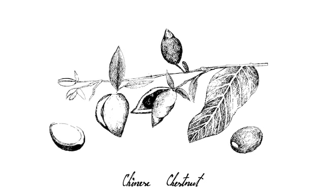 Hand drawn of chinese chestnut on white background