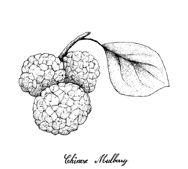 Hand drawn of chinese mulberries