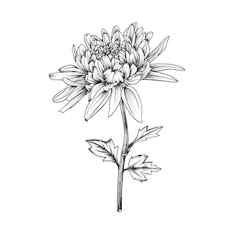 Hand drawn chrysanthemum flower and leaves drawing illustration isolated.