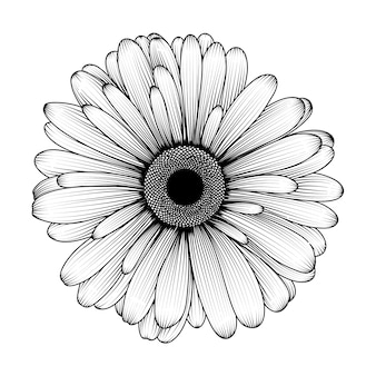 Hand-drawn chrysanthemum flower.