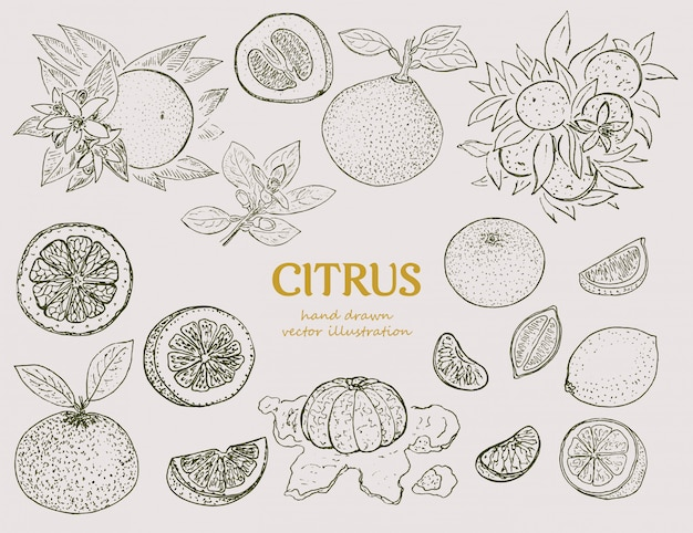 Набор рисованной цитрусовых ботанический