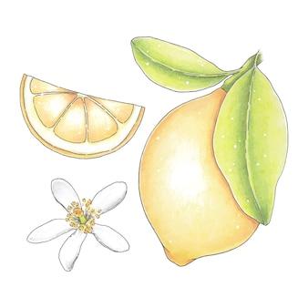 明るい柑橘類のレモンと花で設定された手描きのクリップアート