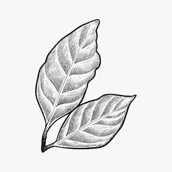 Hand drawn coffee leaf vector