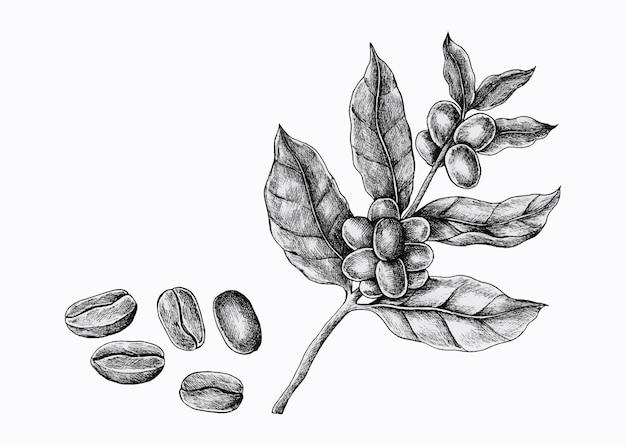 豆と手描きのコーヒー植物。