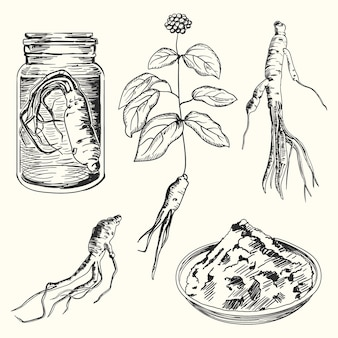 Hand drawn collection of ginseng plant