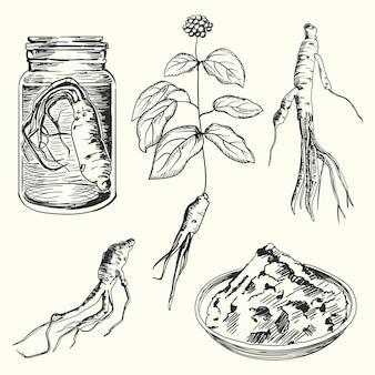 Collezione disegnata a mano della pianta di ginseng