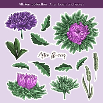 Hand drawn color sticker collection of aster flowers and leaves. detail botanic illustration in hand drawn style.