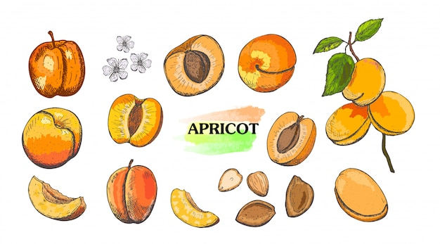 Hand drawn colored apricot set isolated on white background.