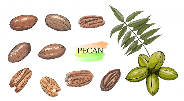 Hand drawn colored pecan nut set