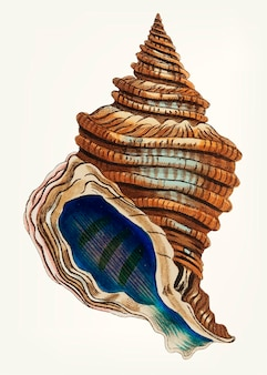 Hand drawn conch shell