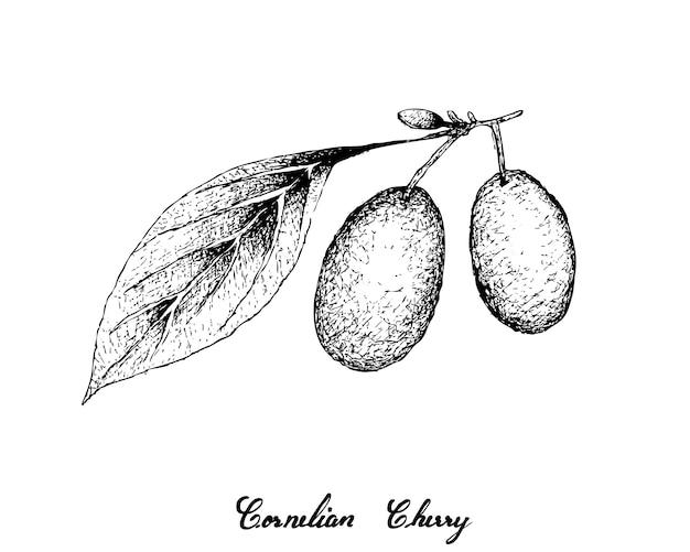 Hand drawn of cornelian cherries