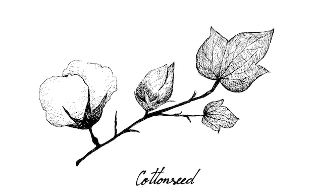 Hand drawn of cotton flower with bud and seed