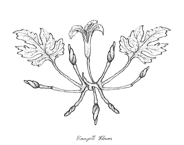 Hand drawn of courgette flowers