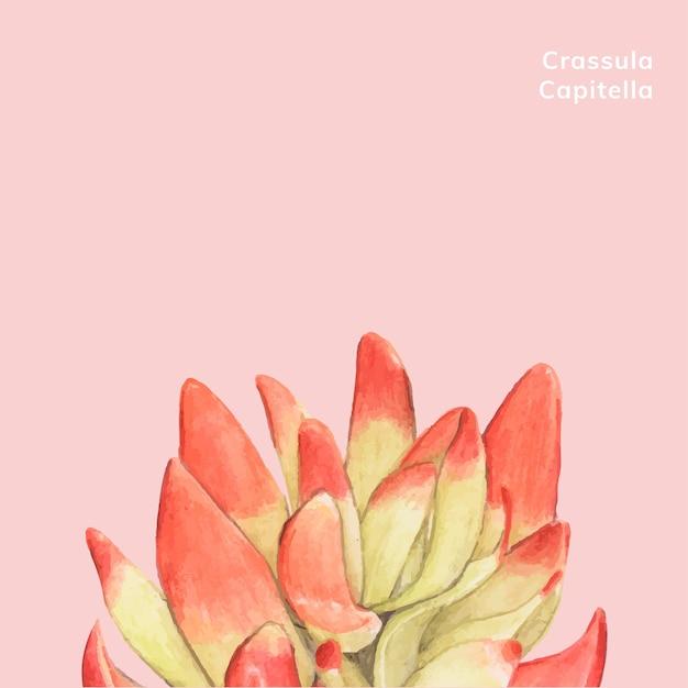 Hand drawn crassula capitella succulent