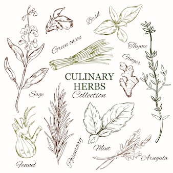 Hand drawn culinary herbs set