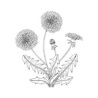 Ручной обращается одуванчик цветочные иллюстрации с линией искусства на белом фоне.
