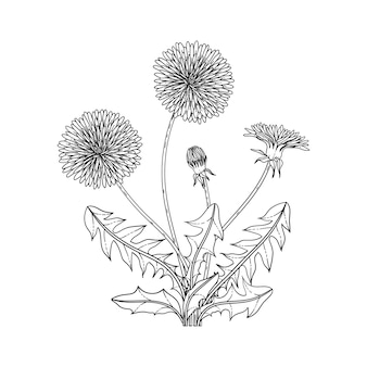 Hand drawn dandelion floral illustration with line art on white backgrounds.