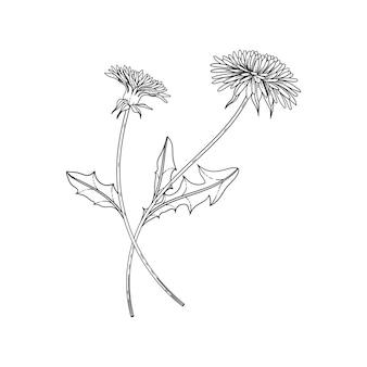 Hand drawn dandelion floral illustration with line art