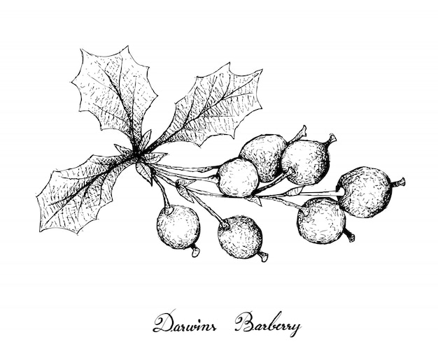 Hand drawn of darwins barberries on white background