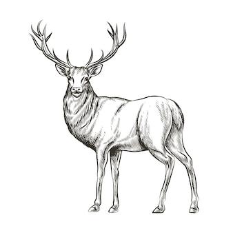 손으로 그린 된 사슴. 동물 야생, 뿔 및 자연 야생 동물, 포유류 순록, 뿔 뿔, 스케치 벡터 일러스트 레이션