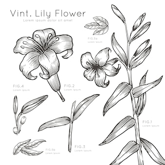 Hand drawn description of lily flowers
